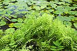 KA_06_1_0787 / Thelypteris palustris / Myrtelg