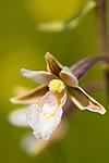 KA_06_1_0804 / Epipactis palustris / Myrflangre