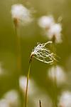 KA_06_1_0809 / Trichophorum alpinum / Sveltull