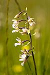 KA_06_1_0812 / Epipactis palustris / Myrflangre