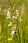 KA_06_1_0814 / Epipactis palustris / Myrflangre