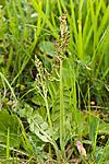 KA_06_1_0864 / Botrychium lunaria / Marinøkkel