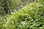 KA_06_1_1120 / Campanula latifolia / Storklokke
