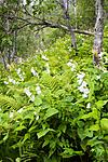 KA_06_1_1123 / Campanula latifolia / Storklokke