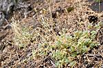 KA_06_1_1235 / Cerastium alpinum lanatum / Ullarve