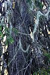 KA_06_1_1362 / Usnea longissima / Huldrestry