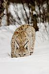 KA_07_1_0204 / Lynx lynx / Gaupe