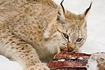 KA_07_1_0212 / Lynx lynx / Gaupe