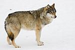 KA_07_1_0218 / Canis lupus / Ulv
