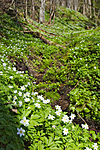KA_07_1_0448 / Anemone nemorosa / Hvitveis
