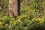 KA_07_1_0489 / Anemone ranunculoides / Gulveis