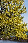 KA_07_1_0562 / Acer platanoides / Spisslønn