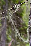 KA_07_1_0899 / Usnea longissima / Huldrestry