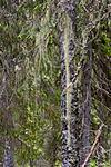 KA_07_1_0900 / Usnea longissima / Huldrestry