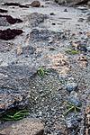 KA_07_1_1318 / Salicornia europaea / Salturt