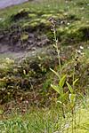KA_07_1_1501 / Epipactis atrorubens / Rødflangre