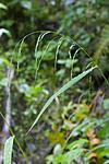 KA_07_1_1597 / Cinna latifolia / Huldregras
