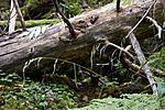 KA_07_1_1672 / Cinna latifolia / Huldregras