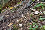 KA_07_1_1776 / Geastrum fimbriatum / Brun jordstjerne