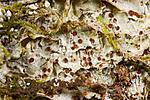 KA_08_1_0291 / Pachyphiale carneola