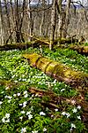 KA_08_1_0756 / Anemone nemorosa / Hvitveis