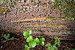 KA_08_1_0759 / Xylobolus frustulatus / Ruteskorpe