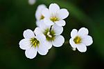 KA_08_1_1040_w / Saxifraga granulata / Nyresildre