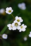 KA_08_1_1043_w / Saxifraga granulata / Nyresildre