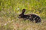 KA_08_1_1091w / Lepus timidus / Hare
