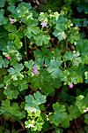 KA_08_1_1096 / Geranium lucidum / Blankstorkenebb