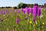 KA_08_1_1142 / Orchis mascula / Vårmarihand