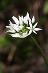 KA_08_1_1268 / Allium ursinum / Ramsløk