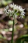 KA_08_1_1269 / Allium ursinum / Ramsløk