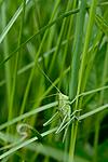 KA_08_1_1405 / Conocephalus dorsalis / Sivgresshoppe