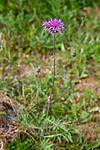 KA_08_1_1412 / Centaurea scabiosa / Fagerknoppurt