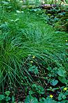 KA_08_1_1422 / Carex remota / Slakkstarr