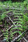 KA_08_1_1453 / Thelypteris palustris / Myrtelg