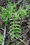 KA_08_1_1454 / Thelypteris palustris / Myrtelg