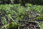 KA_08_1_1455 / Thelypteris palustris / Myrtelg