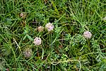 KA_08_1_1950 / Trifolium fragiferum / Jordbærkløver
