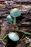 KA_08_1_2005 / Stropharia aeruginosa / Irrgrønn kragesopp