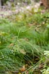 KA_08_1_2052 / Carex remota / Slakkstarr