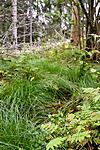 KA_08_1_2053 / Carex remota / Slakkstarr