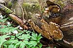 KA_090519_0903 / Spongiporus undosus / Bølgekjuke