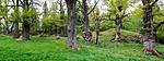 KA_090519_p0919-0921 / Quercus robur / Sommereik