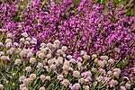 KA_090531_0962 / Armeria maritima / Fjærekoll <br /> Viscaria vulgaris / Engtjæreblom