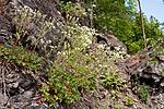 KA_090603_1136 / Drymocallis rupestris / Hvitmure