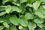 KA_090604_1154 / Reynoutria sachalinensis / Kjempeslirekne