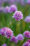 KA_090613_1186 / Allium schoenoprasum / Grasløk