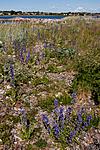 KA_090622_1288 / Echium vulgare / Ormehode